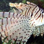 volitans-lionfish